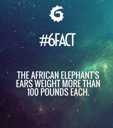 The african elephant's ears weight more than 100 pounds each. #6fact
