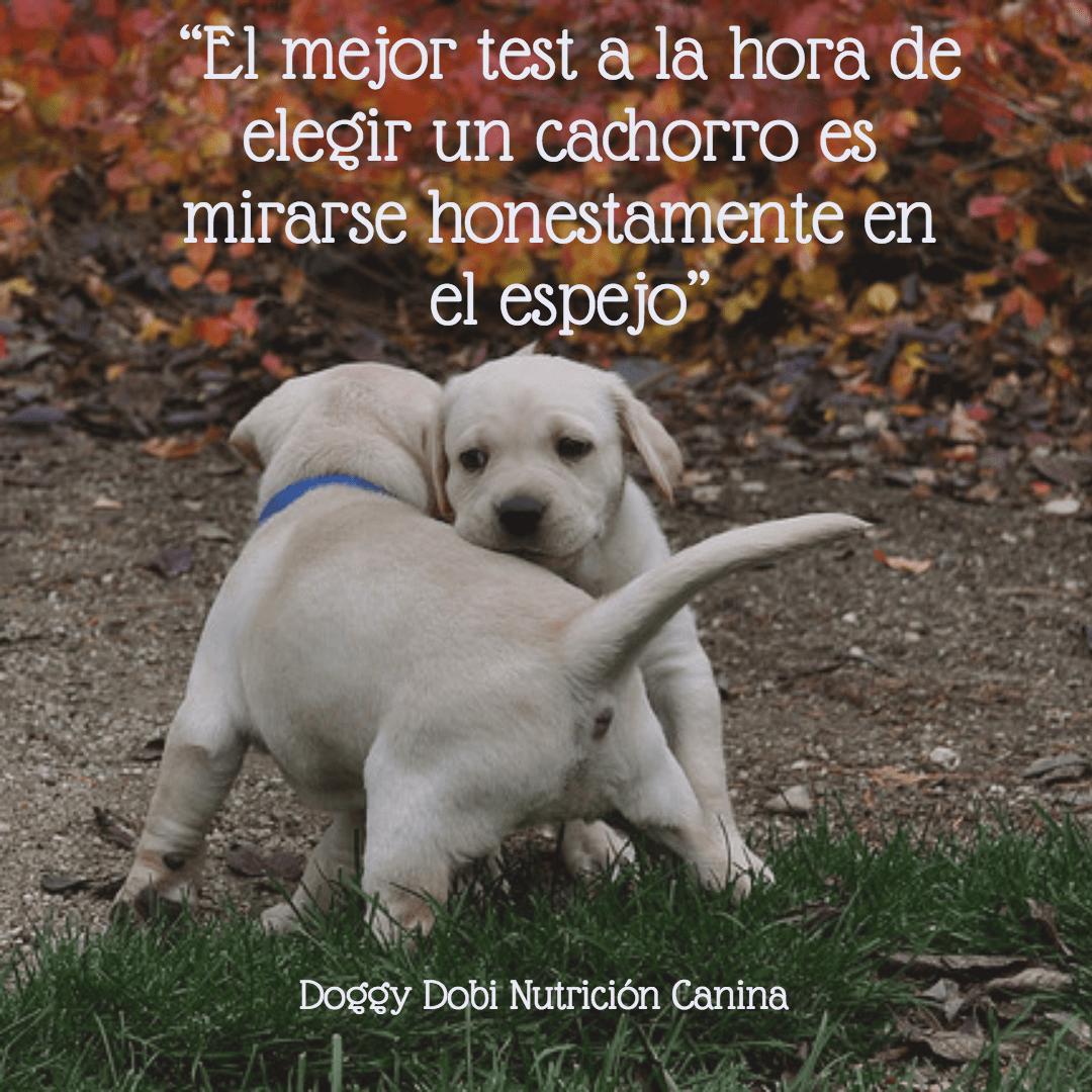Dog,                Mammal,                Breed,                Vertebrate,                Labrador,                Retriever,                White,                Black,                 Free Image