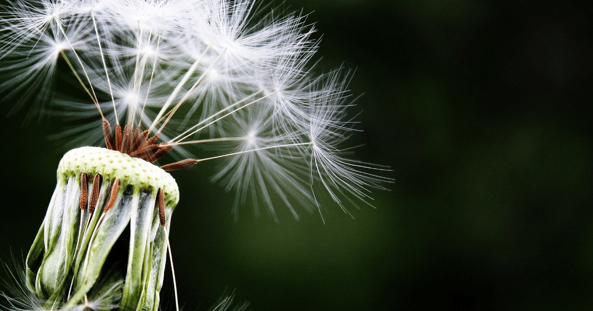 Dandelion,                Plant,                Flora,                Flower,                Close,                Up,                Spring,                Branch,                Computer,                Wallpaper,                Grass,                Stock,                Photography,                 Free Image