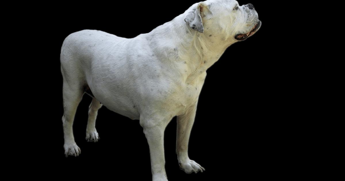 Dog,                Like,                Mammal,                Breed,                Group,                Dogo,                Argentino,                Carnivoran,                Cordoba,                Fighting,                Guatemalteco,                Non,                Sporting,                 Free Image