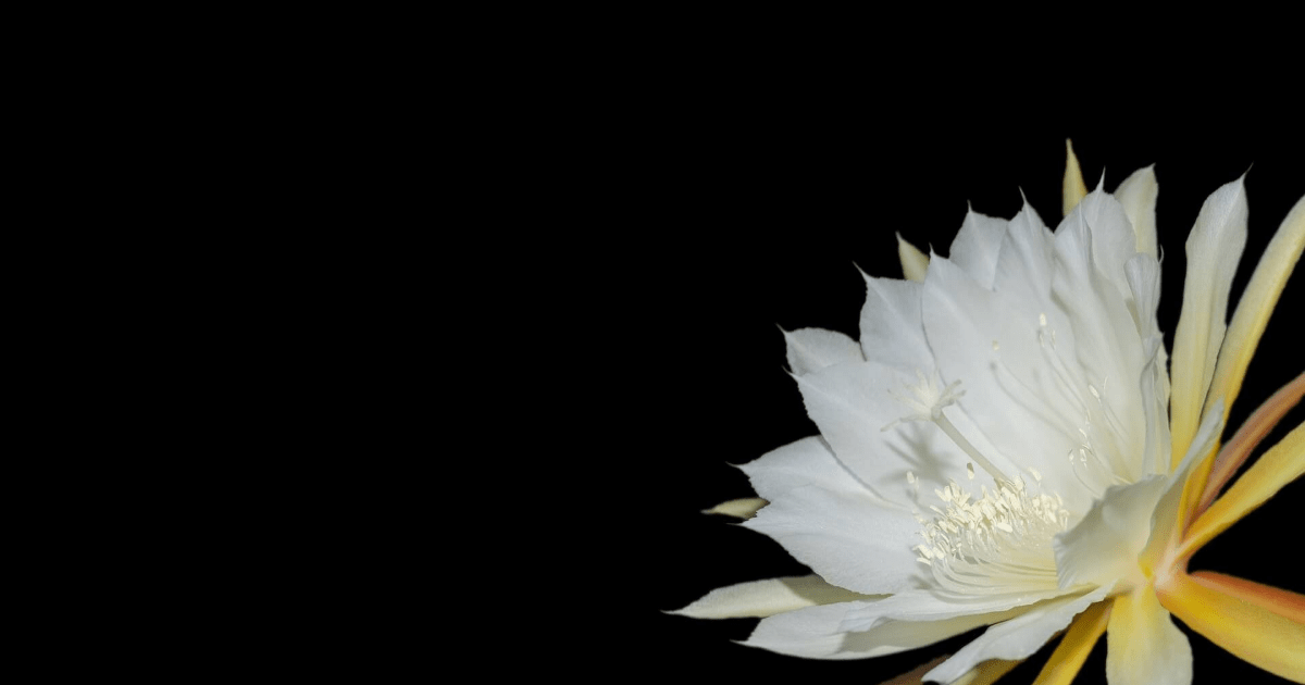 Flower,                Flora,                Plant,                Petal,                Flowering,                Close,                Up,                Computer,                Wallpaper,                Still,                Life,                Photography,                Cactus,                 Free Image