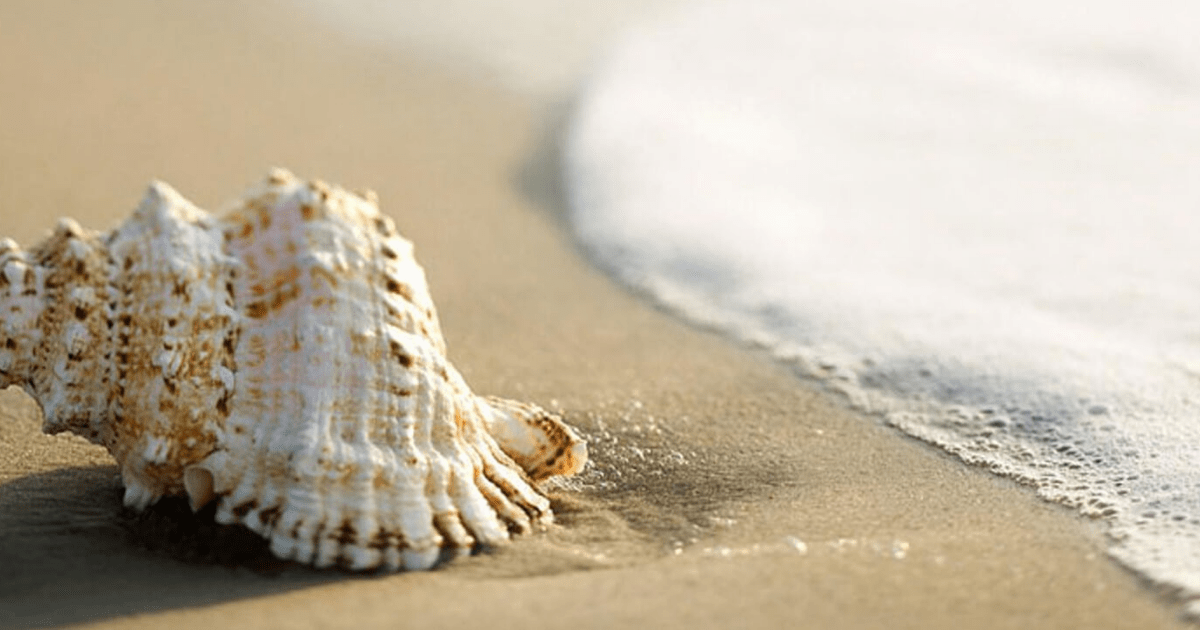 Seashell,                Conch,                Material,                Sand,                Cockle,                Backgrounds,                Photography,                Background,                Photo,                White,                Black,                Yellow,                 Free Image