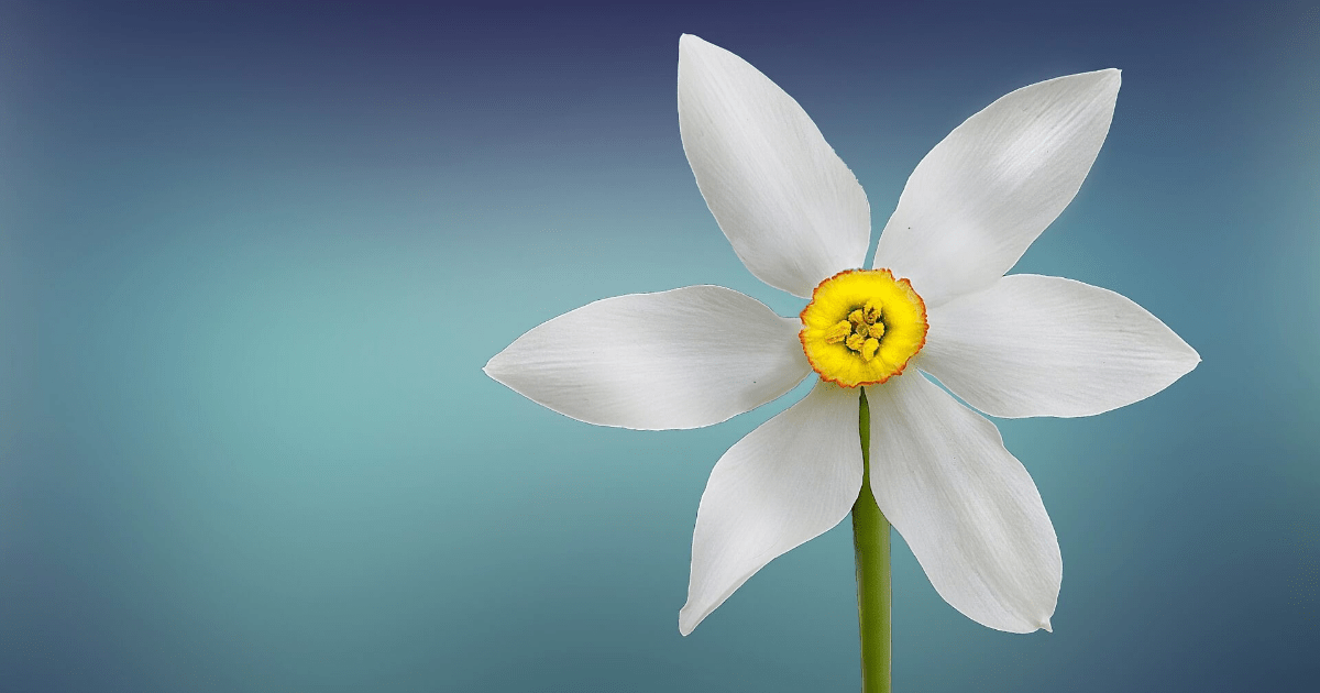 Flower,                Flora,                Plant,                Petal,                Flowering,                Close,                Up,                Narcissus,                Sky,                Computer,                Wallpaper,                Aquatic,                Backgrounds,                 Free Image