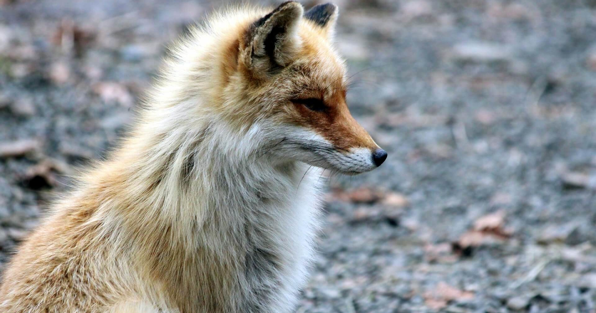 Fox,                Wildlife,                Red,                Mammal,                Fauna,                Kit,                Snout,                Fur,                Terrestrial,                Animal,                Whiskers,                Backgrounds,                Photography,                 Free Image