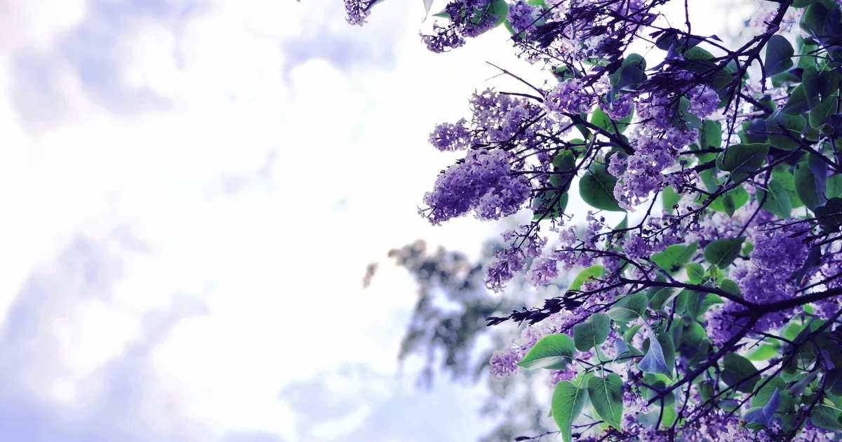 Branch,                Sky,                Tree,                Blossom,                Lilac,                Purple,                Spring,                Flora,                Sunlight,                Flower,                Backgrounds,                Photography,                Background,                 Free Image