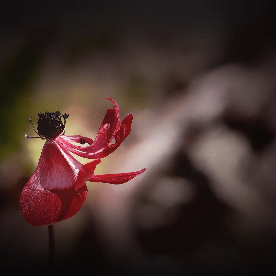 Red,                Flower,                Flora,                Plant,                Flowering,                Petal,                Close,                Up,                Macro,                Photography,                Bud,                Computer,                Wallpaper,                 Free Image