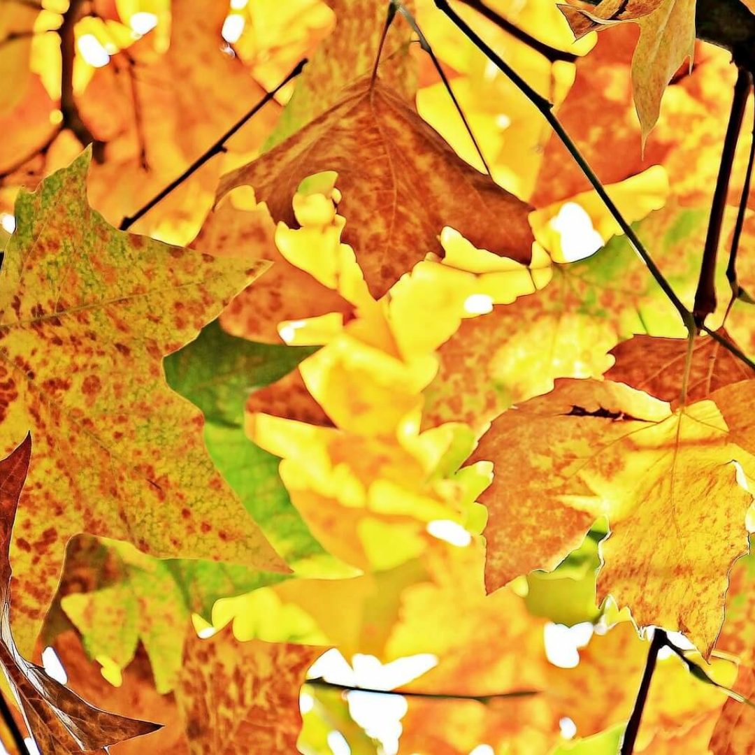 Leaf,                Yellow,                Autumn,                Maple,                Deciduous,                Tree,                Branch,                Plant,                Computer,                Wallpaper,                Backgrounds,                Photography,                Background,                 Free Image