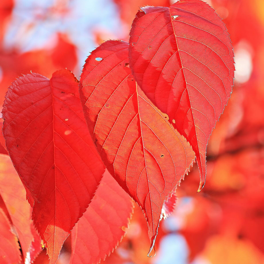 Leaf,                Red,                Autumn,                Deciduous,                Close,                Up,                Petal,                Branch,                Backgrounds,                Photography,                Background,                Photo,                White,                 Free Image