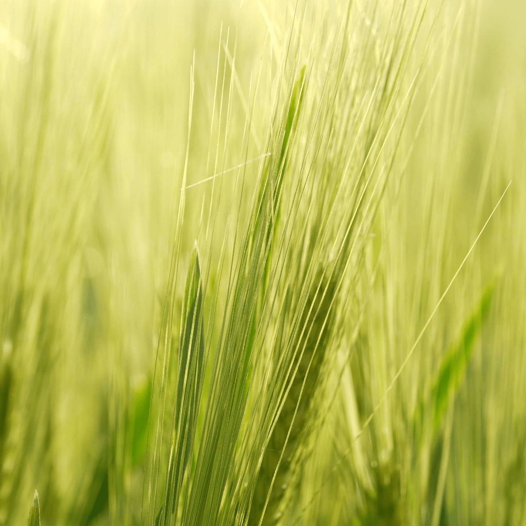 Grass,                Field,                Food,                Grain,                Barley,                Family,                Crop,                Wheat,                Cereal,                Rye,                Hordeum,                Backgrounds,                Photography,                 Free Image