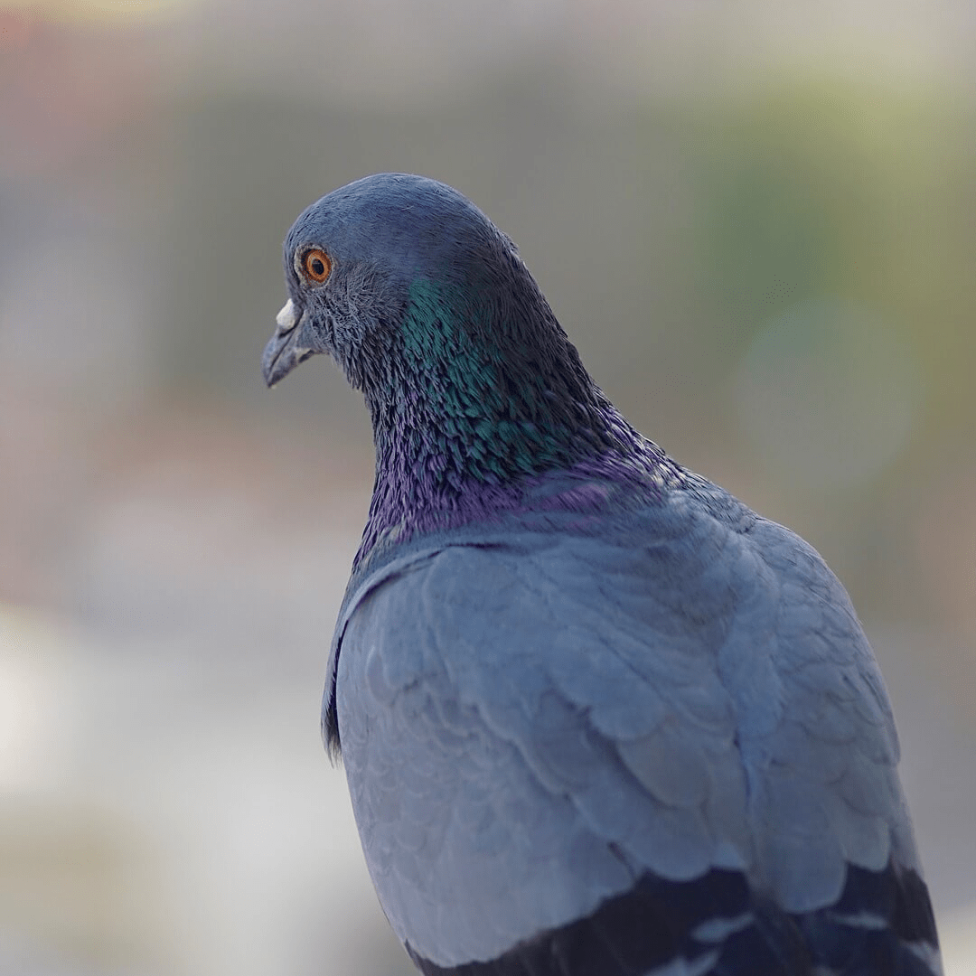 Bird,                Pigeons,                And,                Doves,                Stock,                Dove,                Beak,                Feather,                Fauna,                Organism,                Wing,                Backgrounds,                Photography,                 Free Image