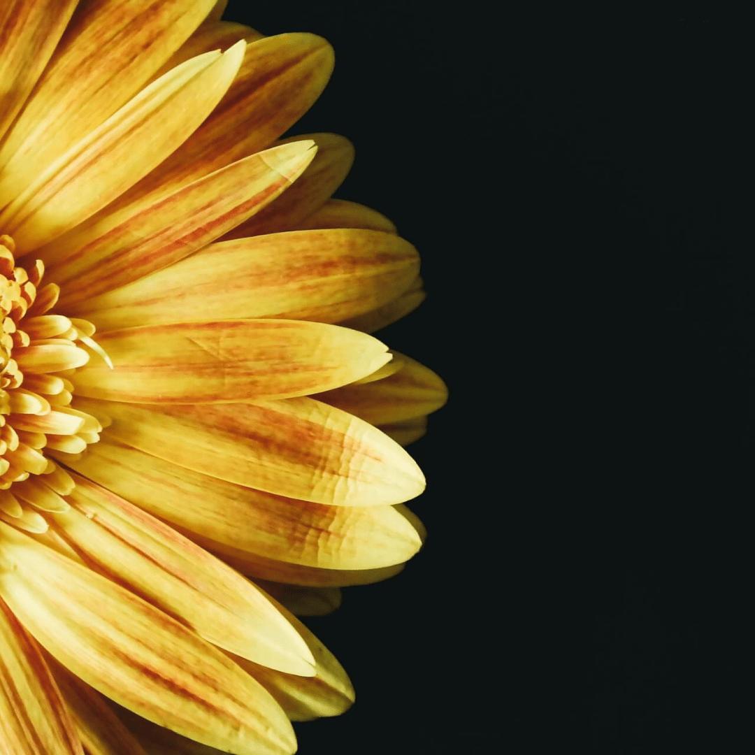 Flower,                Yellow,                Close,                Up,                Petal,                Daisy,                Family,                Computer,                Wallpaper,                Still,                Life,                Photography,                Gerbera,                 Free Image