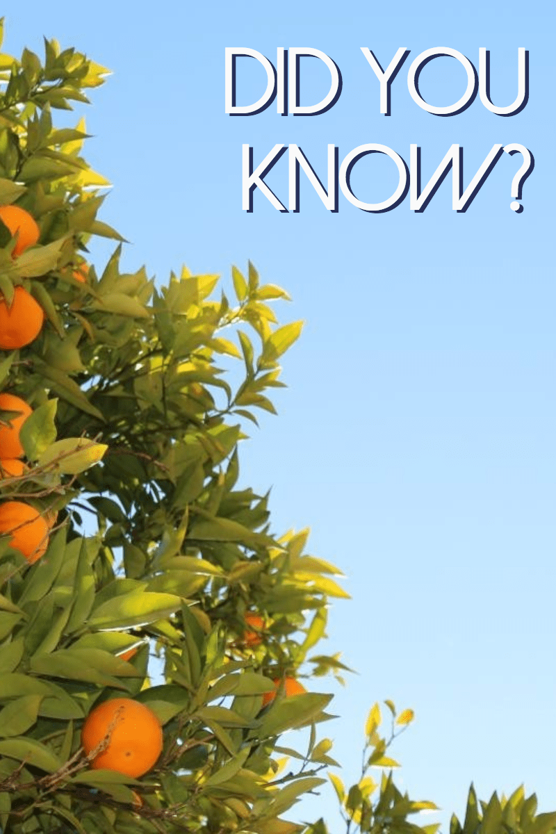 Citrus,                Tree,                Flora,                Fruit,                Plant,                Sky,                Orange,                Produce,                Vegetarian,                Food,                Evergreen,                Anniversary,                Mother,                 Free Image