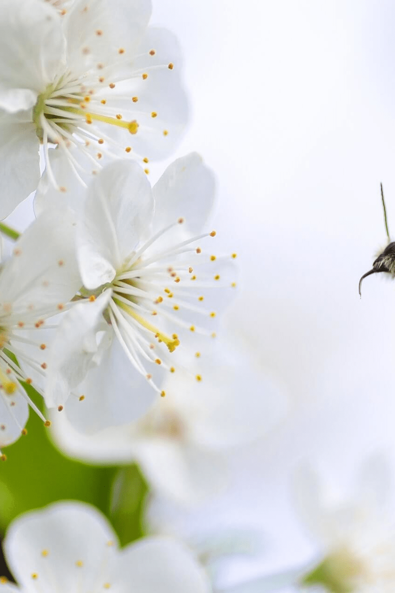 Flower,                Blossom,                Cherry,                Spring,                Flora,                Branch,                Petal,                Twig,                Sky,                Computer,                Wallpaper,                Backgrounds,                Business,                 Free Image