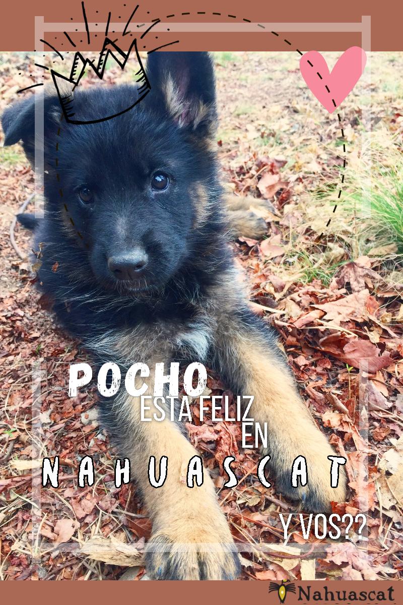 Dog,                Like,                Mammal,                Breed,                Group,                German,                Shepherd,                King,                Kunming,                Wolfdog,                Shiloh,                Tervuren,                Puppy,                 Free Image