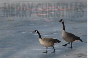 christmas geese 2