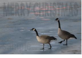 christmas geese 2 sample