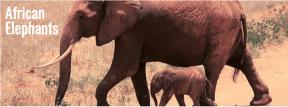 Keystone species - elephants
