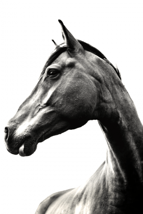 #Photo #Effects #Filters #ImageEffect #PhotoFilters #head #chestnut #stallion #mustang #horse #fauna #Close-up