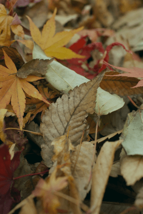 #Photo #FreePhoto #Autumn #UNSPLASHIMAGE #leaf #leaves #autumn #maple
