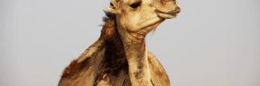 #Photo #FreePhoto #camel #camel #animal #desert #landscape #Tozeur #terrestrial