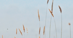#Photo #FreePhoto #phragmites #grass #UNSPLASHIMAGE #commodity #family #sky #plant #grass #wind