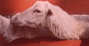 #Photo #FreePhoto #UNSPLASHIMAGE #goats #snout #farm #sheep #fence #Sheep #livestock
