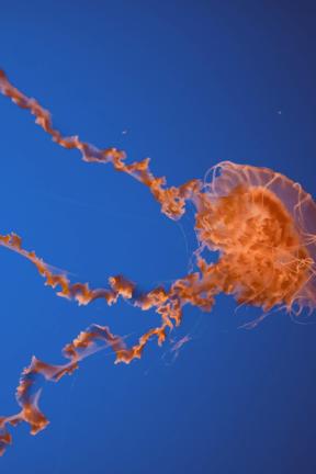 #Photo #FreePhoto #wallpaper #biology #marine #sky #marine #computer #jellyfish #invertebrates