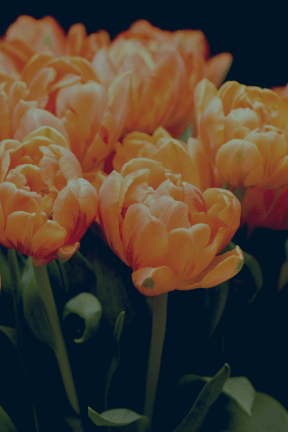 #Photo #FreePhoto #orange #flower #A #computer #tulips #plant #bright #spring #bouquet