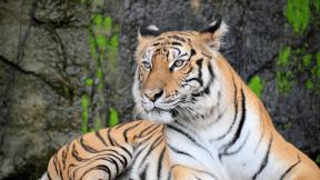 #Photo #FreePhoto #with #tiger #fauna #Tiger #UNSPLASHIMAGE #terrestrial