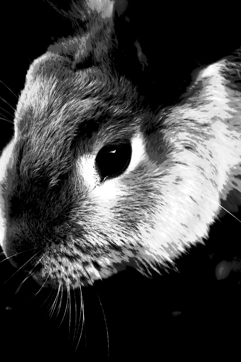 Whiskers,                Black,                And,                White,                Monochrome,                Photography,                Mammal,                Nose,                Rabbit,                Snout,                Rat,                Close,                Up,                 Free Image