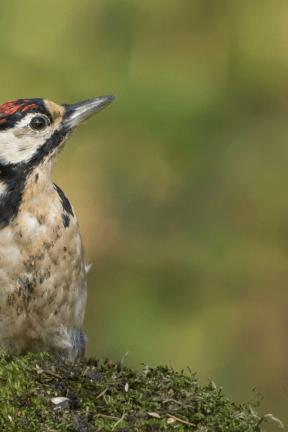 Photo - #Photography #Photo #piciformes #woodpecker #organism #bird #beak #fauna #ecoregion #lark #wildlife