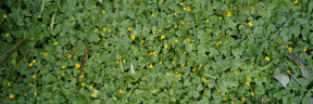 Photo - #Photography #Photo #herb #grass #flowers #groundcover #patch #agriculture #plant #buttercup
