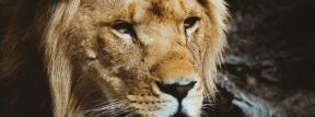 Photo - #Photography #Photo #cats #Close-up #mammal #like #close #staring #lion