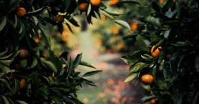 Photo - #Photography #Photo #fruit #orange #produce #plant #citrus #branch #tree #tangerine #evergreen