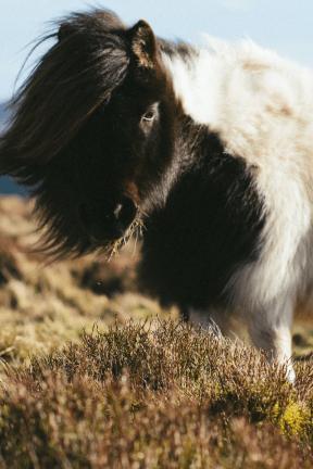 Photo - #Photography #Photo #mane #mammal #thick #horse #goats #pony #with #piebald #livestock