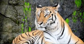 Photo Filter - #PhotoEffect #PhotoFilter #PhotographyFilter #mammal #animal #cats #sitting #wildlife #big #like #terrestrial #organism #with