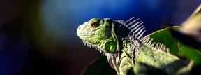 Photo Filter - #PhotoEffect #PhotoFilter #PhotographyFilter #chameleon #reptile #lizard #iguania #animal #iguana #fauna #organism #scaled