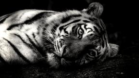 Photo Filter - #PhotoEffect #PhotoFilter #PhotographyFilter #tiger #organism #big #mammal #fauna #like #cats #wildlife #animal #whiskers