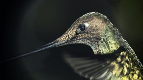 Photo Filter - #PhotoEffect #PhotoFilter #PhotographyFilter #pollinator #fauna #wildlife #bird #hummingbird #organism #beak