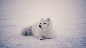 Photo Filter - #PhotoEffect #PhotoFilter #PhotographyFilter #arctic #samoyed #canadian #dog #winter #japanese #group #snow #mammal #sits