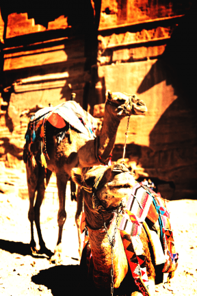 Photo Filter - #PhotoEffect #PhotoFilter #PhotographyFilter #arabian #camel #livestock #mammal #pack #animal #like