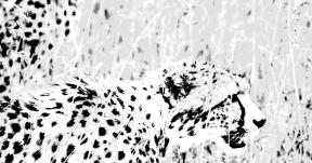 Photo Filter - #PhotoEffect #PhotoFilter #PhotographyFilter #wildlife #fauna #wilderness #grass #ecosystem #grassland #terrestrial #animal #cheetah #savanna
