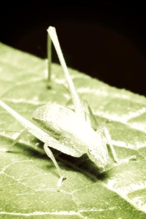 Photo Filter - #PhotoEffect #PhotoFilter #PhotographyFilter #cricket #insect #pest #grasshopper #leafhopper #like #organism #invertebrate #locust #leaf