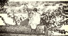 Photo Filter - #PhotoEffect #PhotoFilter #PhotographyFilter #tiger #structure #zoo #wooden #organism #A #big #fauna #mammal #animal