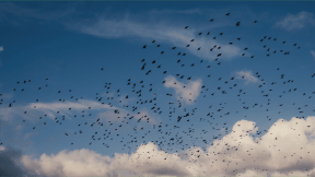 Photo Filter - #PhotoEffect #PhotoFilter #PhotographyFilter #atmosphere #cloud #cumulus #phenomenon #sky #daytime #migration #flock #bird #meteorological