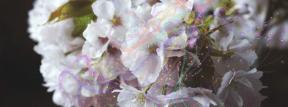 Photo Overlay Design - #PhotoOverlay #PhotoFilter #Photography #prunus #blossom #cherry #human #subshrub #font #viburnum #branch
