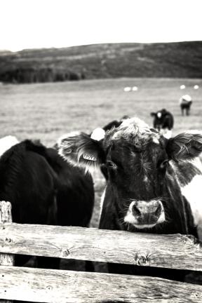 Photo Filter - #PhotoEffect #PhotoFilter #PhotographyFilter #ranch #herding #like #farm #cattle #grass
