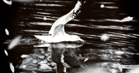 Photo Overlay Design - #PhotoOverlay #PhotoFilter #Photography #petal #white #black #fauna #seabird #font #bird #wildlife #water #and